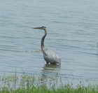 heron standing in the water